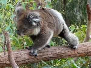 Koala, Australië 2014