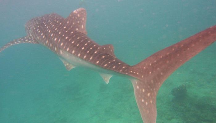 Walvishaaien - whalw sharks - maldiven