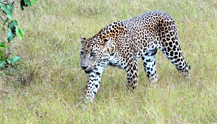 Wipattu-park-sri-lanka-luipaard