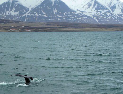 IJsland-Akureyri-orkas