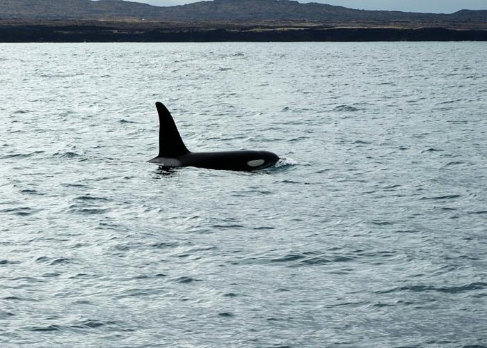 IJsland orka
