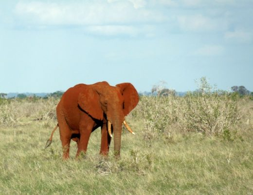 kenia-tsavo-rode-olifant