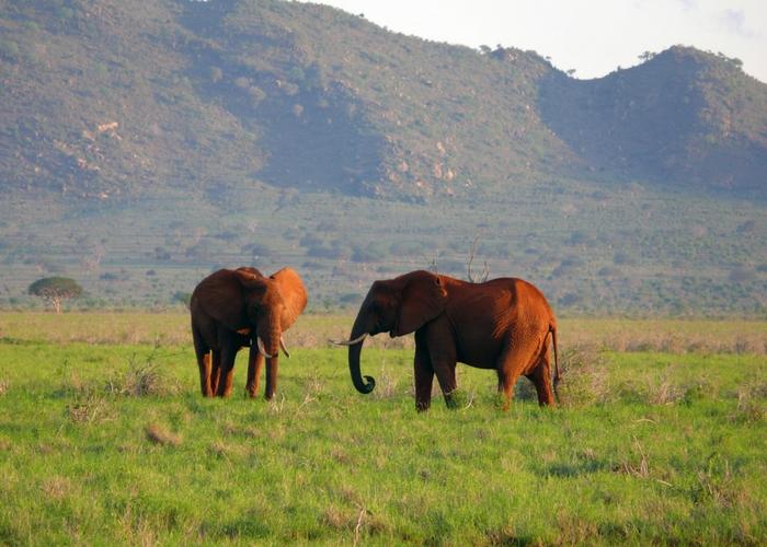Rode olifanten tsavo east