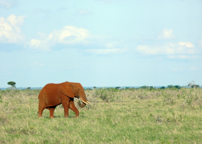 Rode olifant tsavo