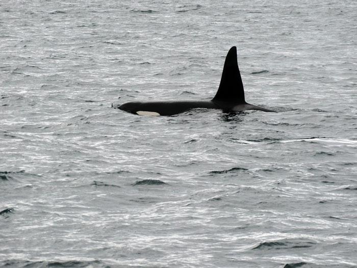 orka ijsland