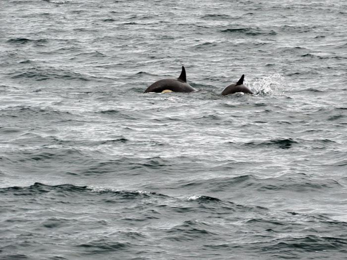 orka ijsland - encounter