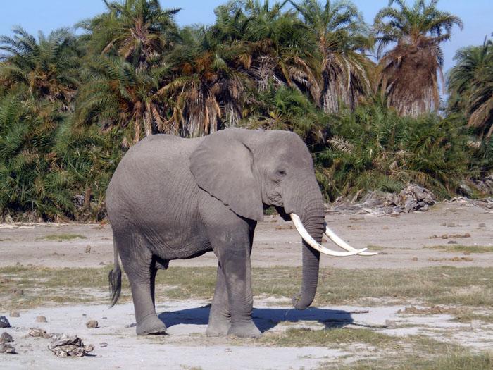 De Afrikaanse olifant in Amboseli nationaal park Kenia