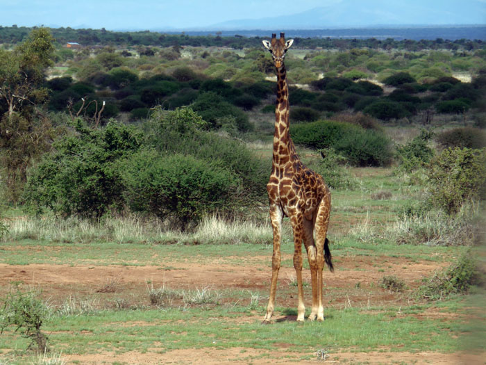 Giraffe op de savanne in Amboseli nationaal park Kenia