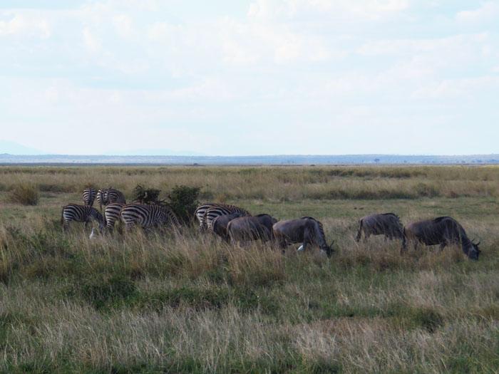 Grazende zebra's Amboseli Nationaal Park Kenia