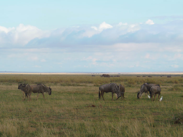 Grazende gnoes in Amboseli Nationaal park Kenia
