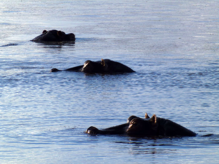 Nijlpaarden in moeras Amboseli Nationaal Park Kenia