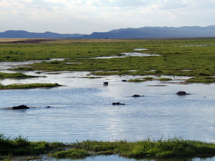Nijlpaarden moeras in Amboseli Nationaal Park Kenia