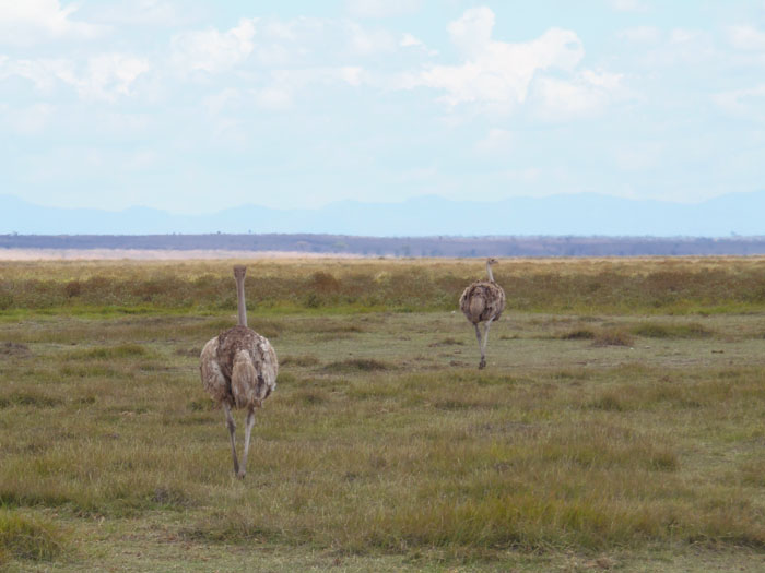 Struisvogels in Amboseli Nationaal Park Kenia