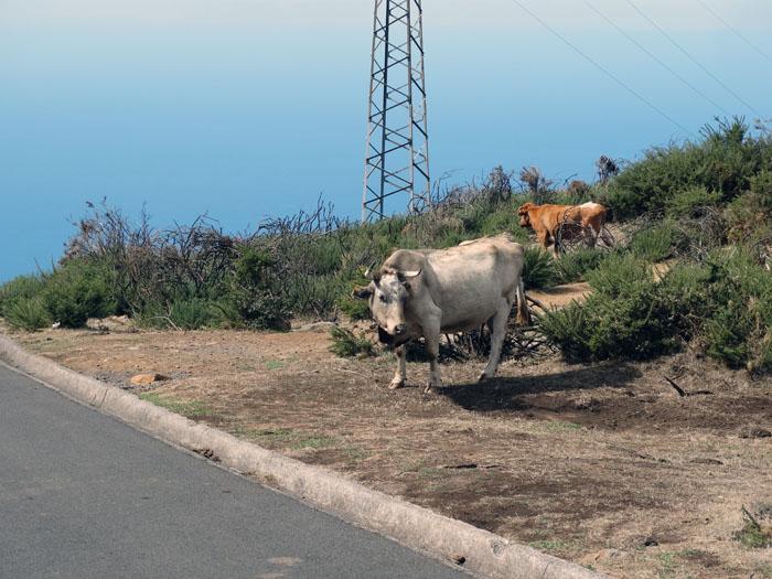 Koeien op de weg Madeira Portugal