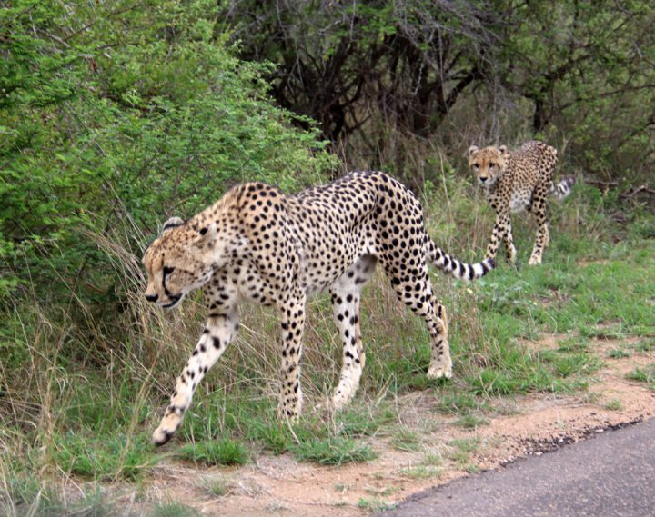 Safari en wildlife spotten beste Nationale Parken Zuid-Afrika
